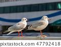 붉은부리갈매기, 바다 풍경 47792418