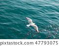 붉은부리갈매기와 숭어떼, 바다 풍경 47793075