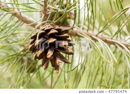Cones on a pine in the woods 47795474