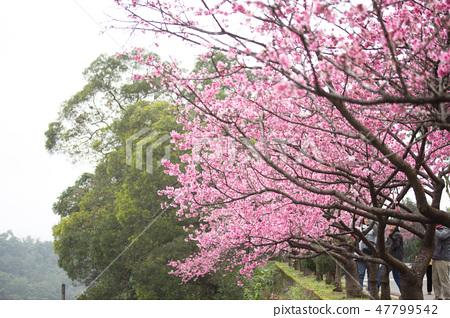 台灣陽明山美麗的櫻花 47799542