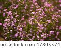 coleonema pulchellum pink flowers 47805574