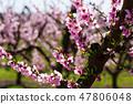 Blooming peach trees 47806048