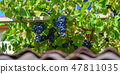Red grape cluster with leaves 47811035