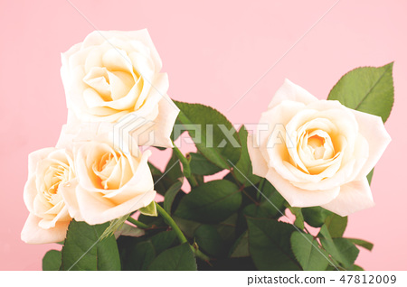 Roses on the pink background 47812009