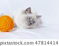 털실 뭉치 옆에서 사냥감을 노리는 시선 고양이. 애완 동물, 고양이, 본능, 사냥 이미지 47814414