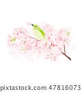 Ugis and cherry blossoms 47816073