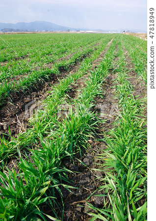 Wheat leaves of wheat 47818949