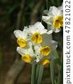 삼양 메데아 꽃 박물관 하얀 수선화 47821022