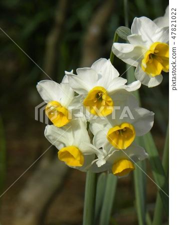 แดฟโฟดิลสีขาวของพิพิธภัณฑ์ดอกไม้ Sanyo Medea 47821022