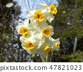 삼양 메데아 꽃 박물관 하얀 수선화 47821023