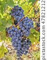 Cabernet Sauvignon grapes on the vine 47821212