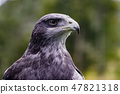 Close-up of Black-Chested Buzzard-Eagle head 47821318