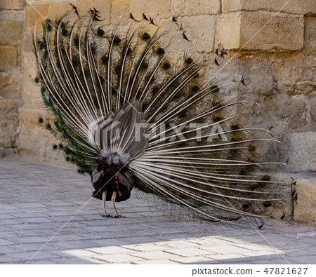 Peacock begins to expand its tail by shimmering and shaking 47821627