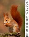 Eurasian red squirrel, sciurus vulgaris, in autumn forest in warm light. 47822067