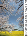 Cherry Blossoms 47826170