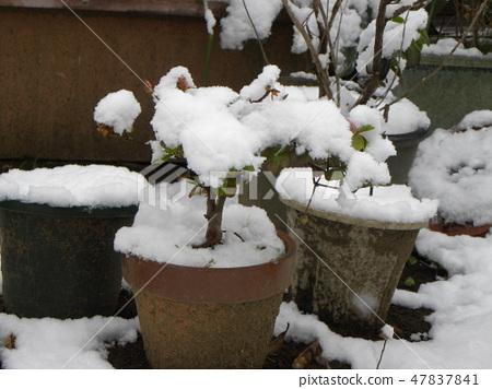 杜鵑花盆栽植物中的純白雪 47837841
