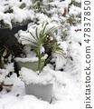 幼苗幼苗的葉子因雪的重量而發亮 47837850