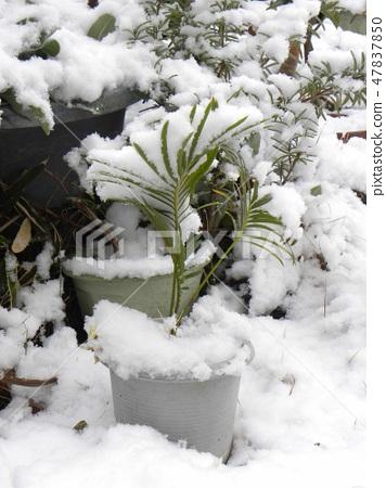 幼苗幼苗的叶子因雪的重量而发亮 47837850