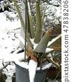 蘆薈被雪覆蓋著 47838206