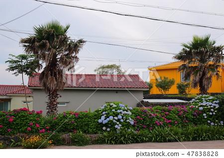 수국,제주,마을, 47838828