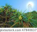 綠島燈塔與林投樹 47840637