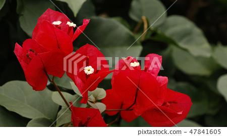아침 - 겐비레아 꽃 47841605