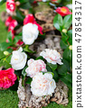 Selrcted garden camellia flower 47854317