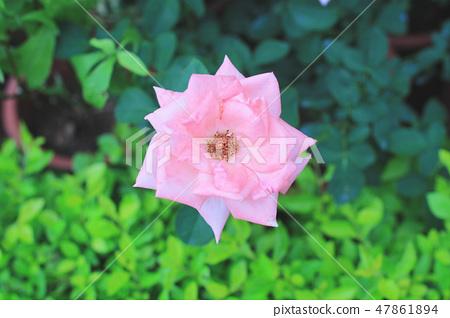 the rose flower at flower bed 47861894