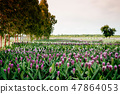 Flower field of Pink colour Siam tulip flower 47864053