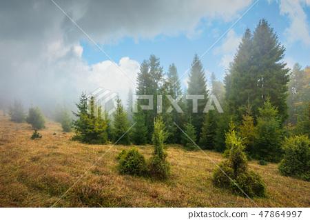 pine forest in autumn fog. 47864997