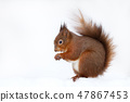 Close up of a Red squirrel in the snow 47867453