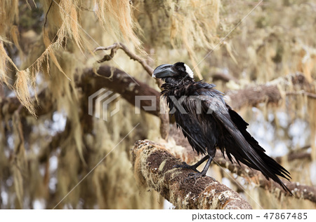 Thick-billed raven perched in a tree 47867485