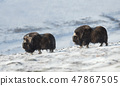 Close up of two male Musk Ox in snowy mountains 47867505