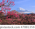 Red plum and Mt. Fuji -2431 47881356