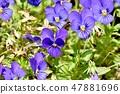 開花在三鷹中原的藍色紫色中提琴 47881696