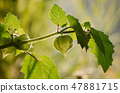 Green physalis on branch as background. 47881715