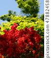 在綻放和初夏藍天的Toukyu 47882458