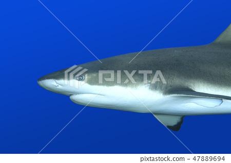 Reef Shark 47889694