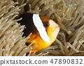 Orange-Finned Anemonefish 47890832
