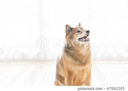 微笑Shiba Inu 47892205