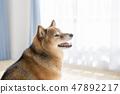 微笑Shiba Inu 47892217