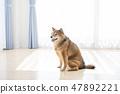 微笑Shiba Inu 47892221