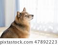 Shiba Inu的肖像 47892223