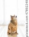 Shiba Inu的肖像 47892240