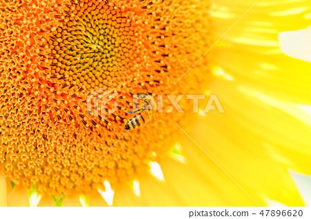 【山梨县】Akeno的日出蜜蜂 47896620