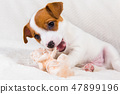 Jack Russell Terrier puppy dog with angel. 47899196