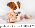Jack Russell Terrier puppy dog with angel. 47899475