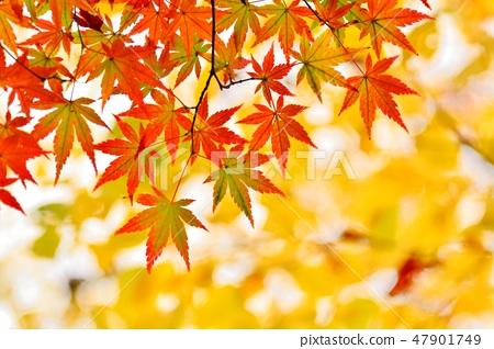 단풍 나무의 단풍 47901749