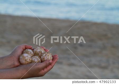 Sea turtle eggs 47902133