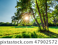 Green oak with sun in branches with foliage 47902572